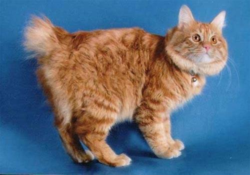 Кошка курильский бобтейл