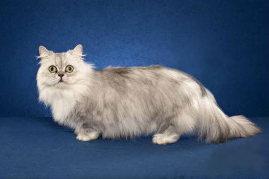 Кошка напалеон
