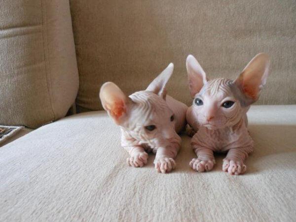 Котенок донской сфинкс