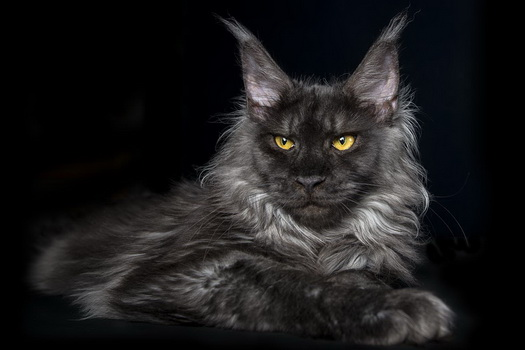 maine_coon49s1