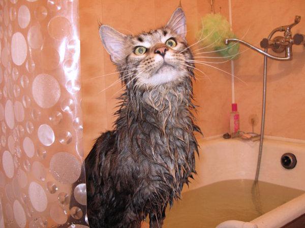 Мытье мейн куна