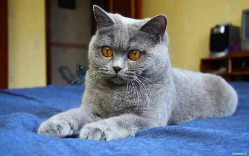Плюшевая британская кошка
