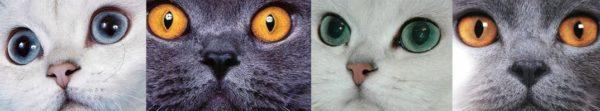 Различие глаз у британских и шотланских кошек