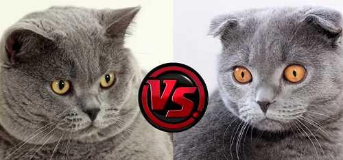 Различие шеи британского кота от шотландского
