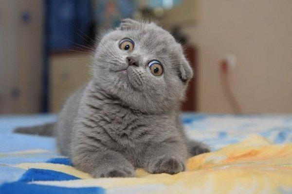 Вислоухая британская кошка