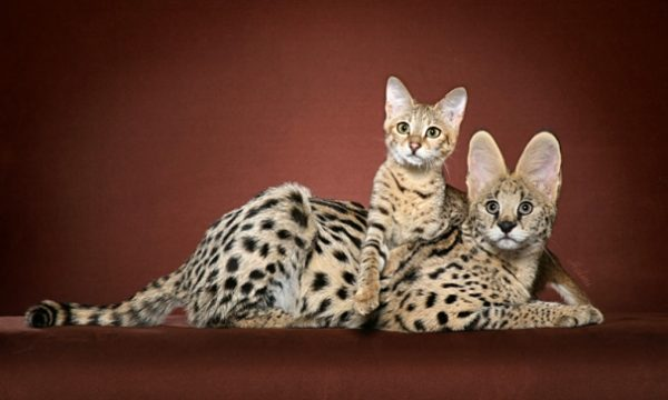1374485332_savannah-kitten-and-serval