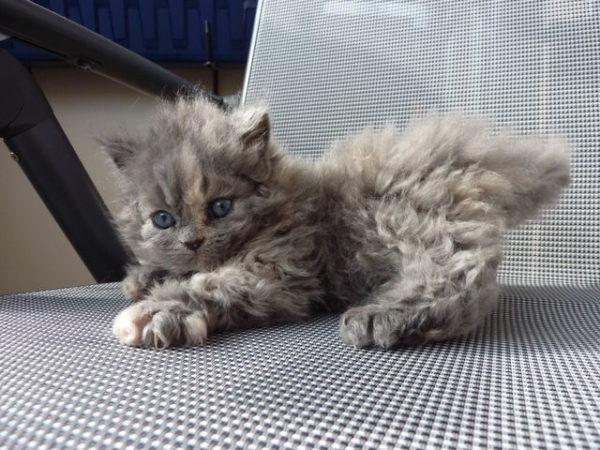 фото котенка селкирк рекса