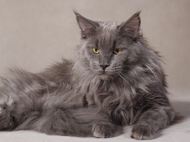 animals___cats_grey_serious_maine_coon_cat_044959_291