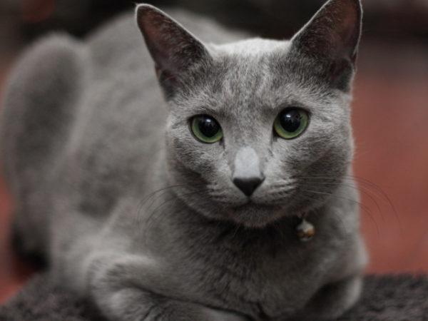 animals___cats_proud_russian_blue_cat_092352_29