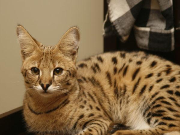 animals___cats_savanna_cat_breed_092386_29
