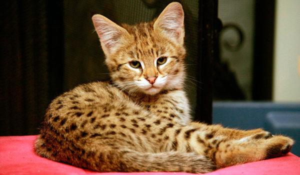Фото котенка саванна