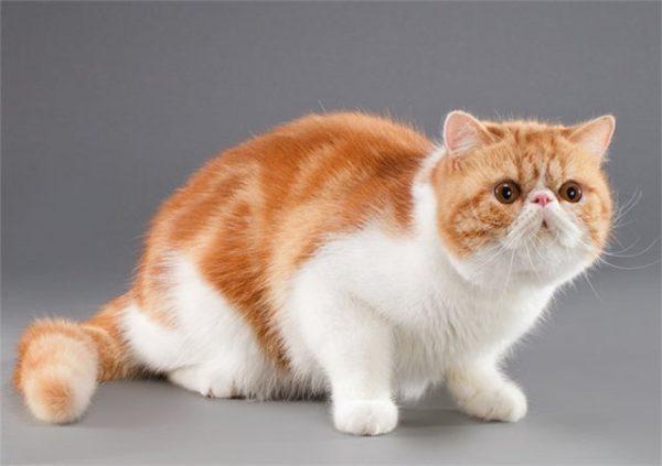 Короткошерстный персидский кот