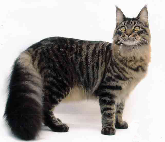 maine-coon-cat-breeders-2-642x5531