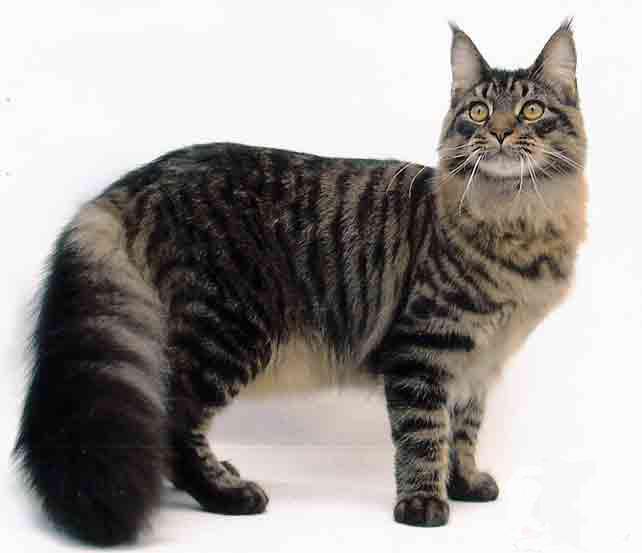 maine-coon-cat-breeders-2-642x5531