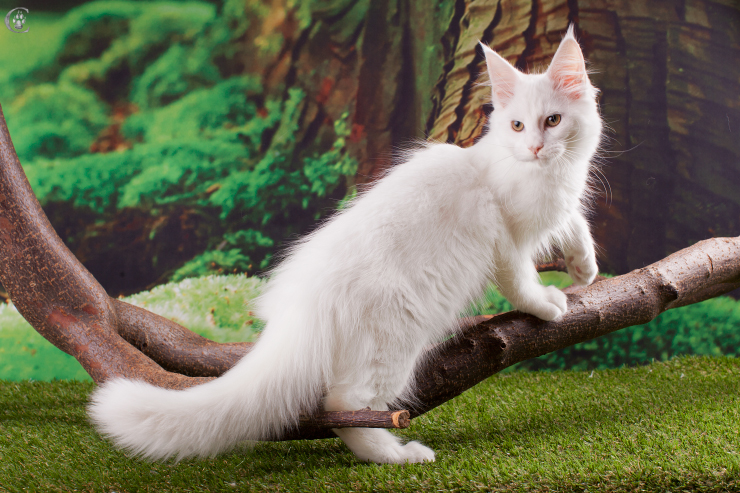 mainecoon_white_31