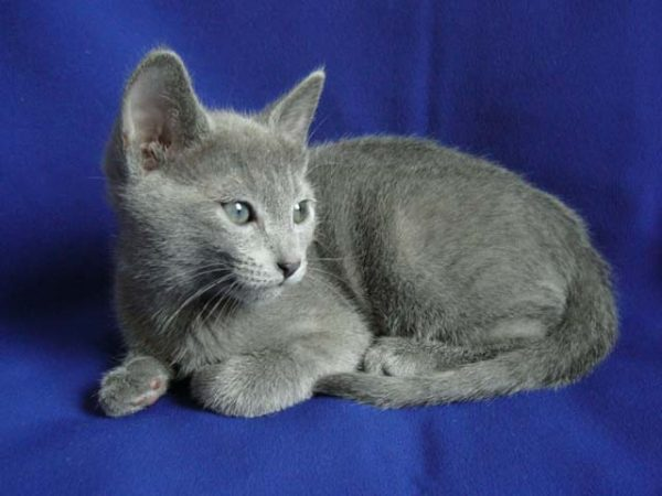 russian_blue_kitten