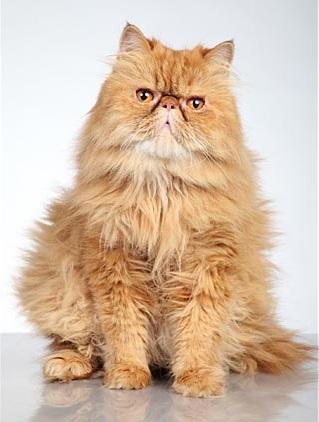 кот персидский фото рыжий
