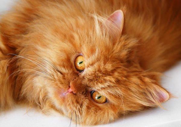 Коты персы рыжий