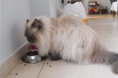 Чем кормить персидского кота