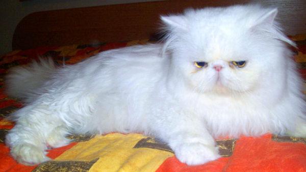 Экстремальный персидский кот фото