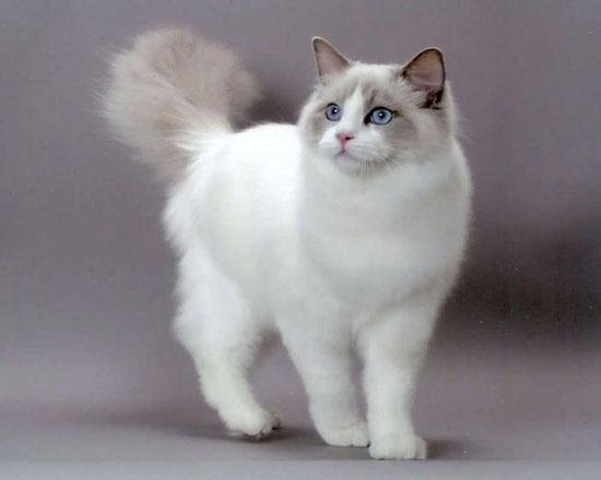 Фото кошки рэгдолл