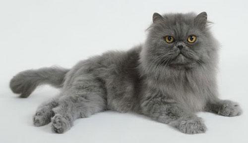 Классический персидский кот
