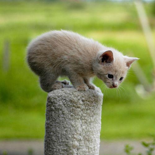 Котенок мэнкс