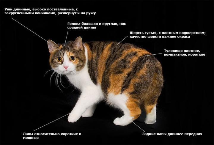 Кошка мэнкс