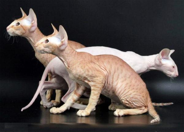 Кошка петерболд фото