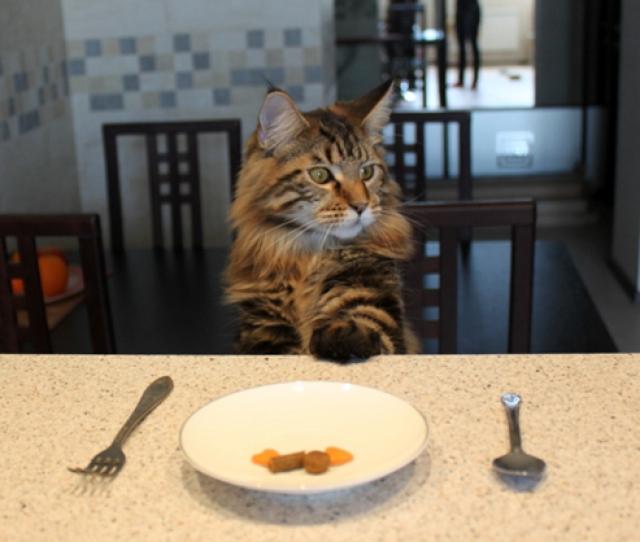 Мейн кун просит есть