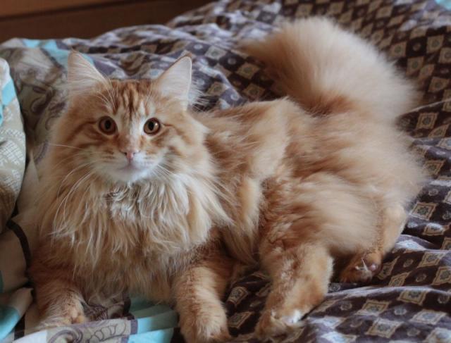 Сибирский лесной кот