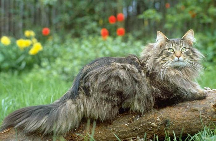 Норвежский лесной кот фото