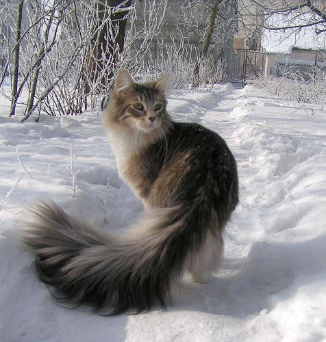 Все о породе норвежский лесной кот