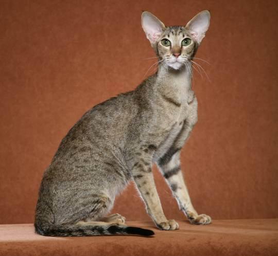 фото кошки породы ориентал