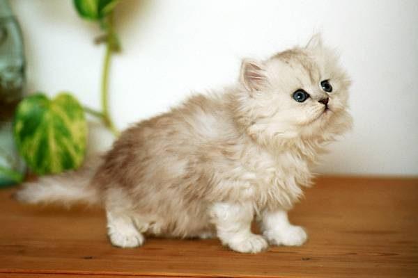 Персидский котенок содержание