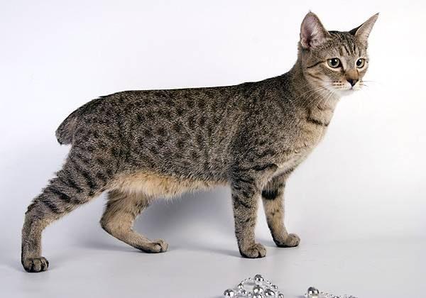 Пиксибоб порода кошек