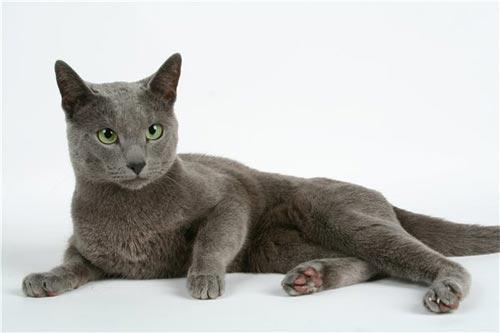 Русский порода котов