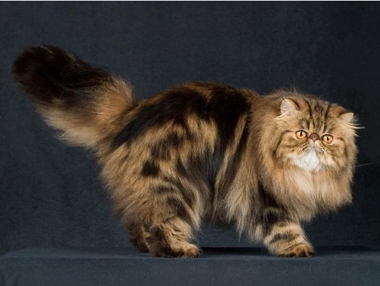 Современный персидский кот