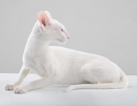 белый короткошерстный ориентал