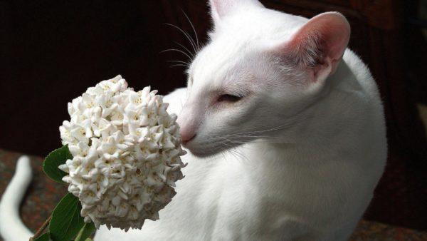 animals___cats_white_oriental_shorthair_091895_26