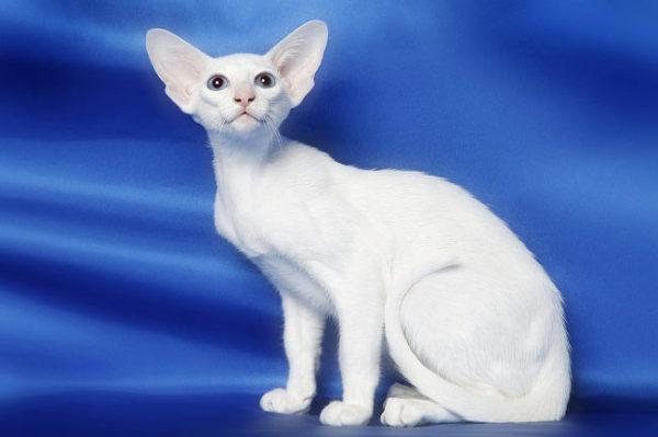 oriental-cat-5