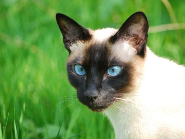 phoca_thumb_l_siam_cat_5