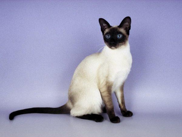 phoca_thumb_l_siam_cat_7