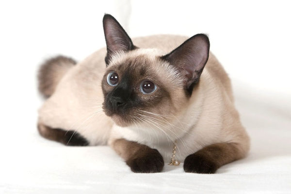 siamese-featured