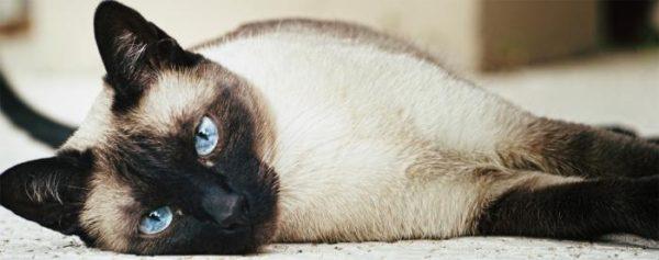 Повадки сиамского кота