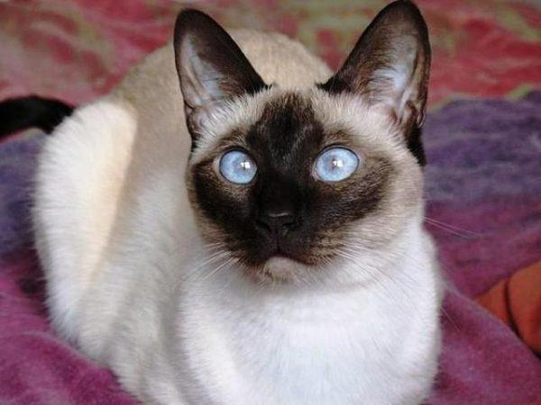 tayland-siyam-kedisi