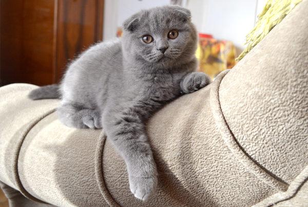 Шотландские вислоухие котята аллергия
