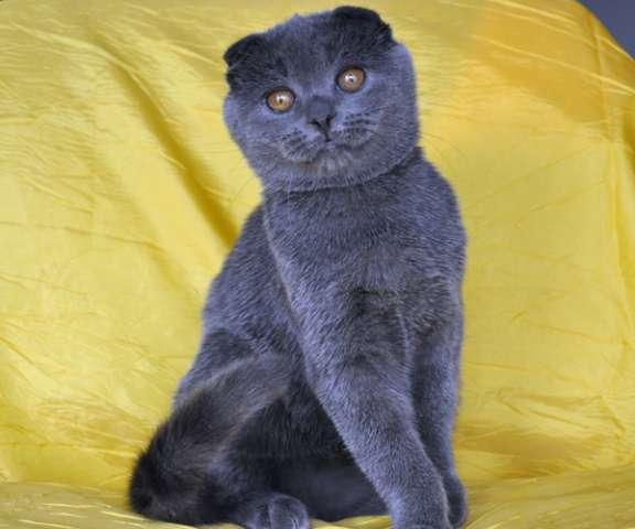 Кошки порода шотландская голубая фото