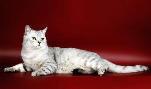Шотландские коты характер и повадки