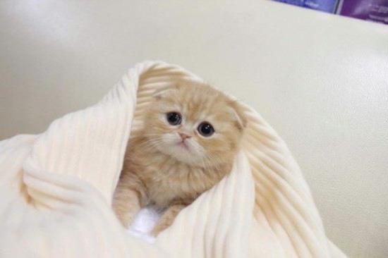 Меню из натуральных продуктов британских котят